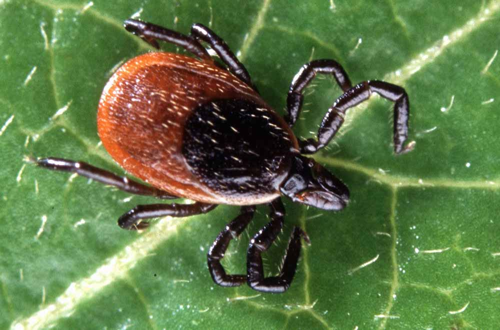 Adult deer tick 1 - 5 steps to protecting yourself from tick-borne illnesses