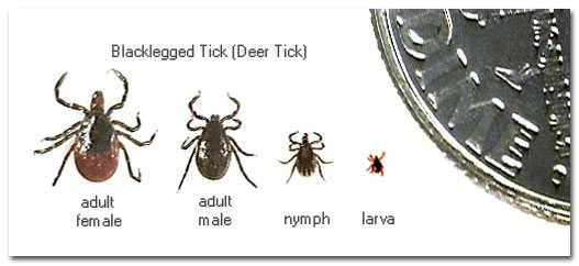 deer tick stages1 - 5 steps to protecting yourself from tick-borne illnesses